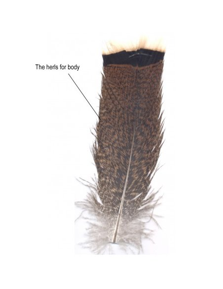 Tail feathers from the turkey