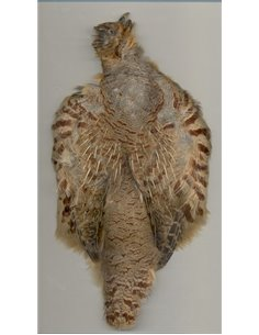 Partridge scalp, JAS